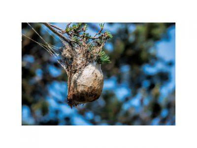Realizamos tratamentos contra a lagarta do pinheiro